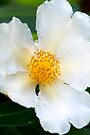 White Camellia by Extraordinary Light