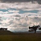 dramatic cows by Alex Evans