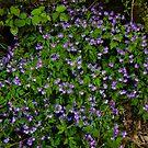 Purple Phacelia by Karen Kaleta