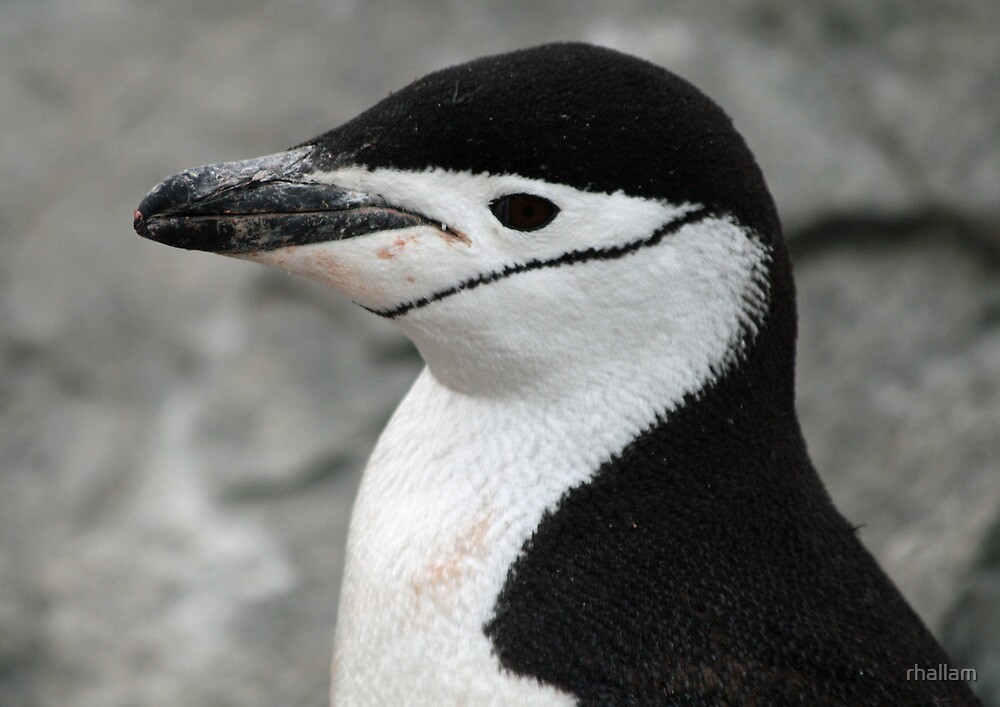 Chinstrap penguin 12 by rhallam