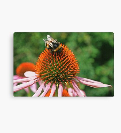 Coneflower & Bee Canvas Print