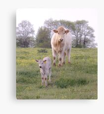 Charolais Cattle Canvas Print