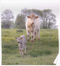 Charolais Cattle Poster