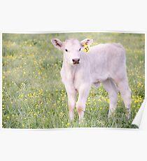 Charolais Calf Poster