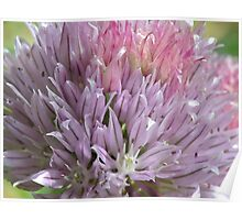 Flowering Chive Poster