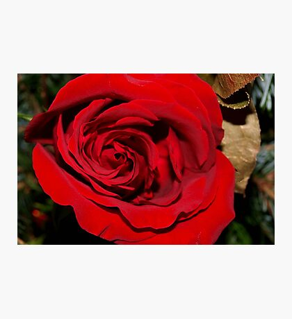 Holiday rose Photographic Print