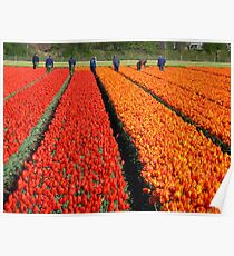 working in the tulip fields Poster