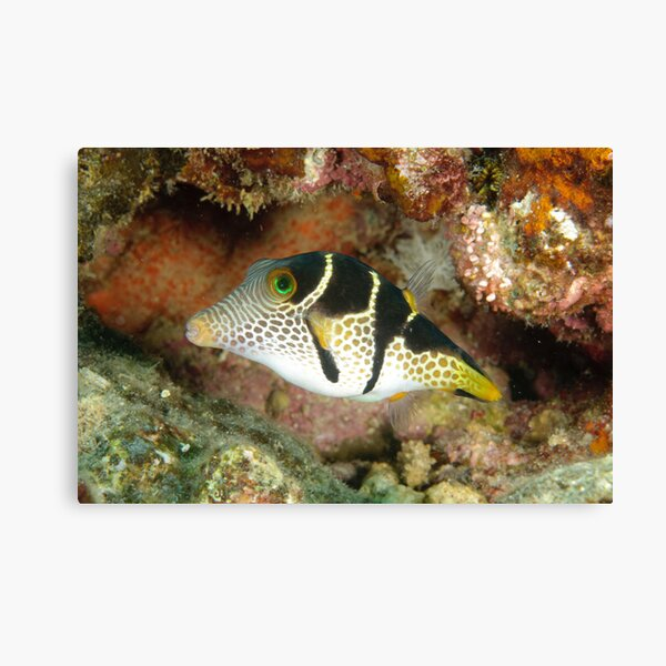 Clown toby - Canthigaster valentini Canvas Print