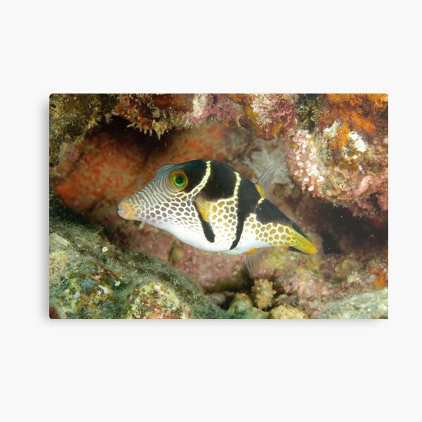 Clown toby - Canthigaster valentini Metal Print