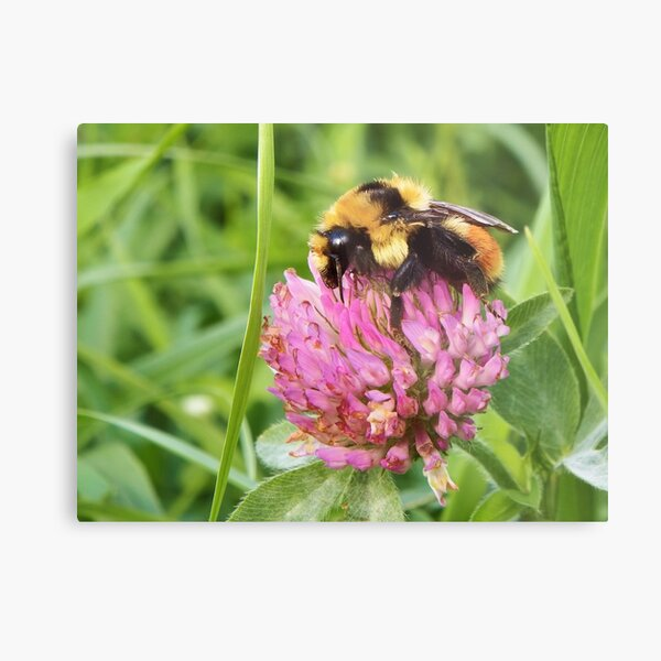 Clover Bumblebee Metal Print