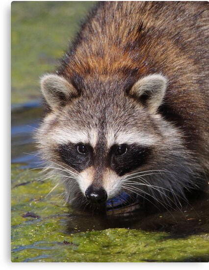 Raccoon Portrait by naturalnomad