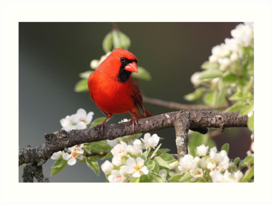 Northern Cardinal with spring blossoms by Rob Lavoie