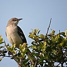 Mockingbird, S. Carolina by mklue