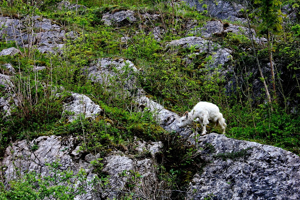Mountain Goat by Mjay