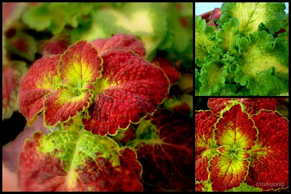 Colorful Coleus Diptych  ^ by ctheworld