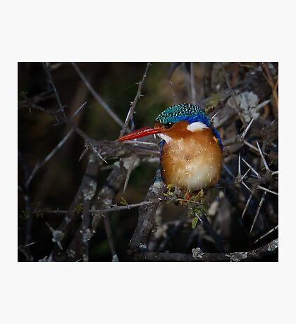 Malachite Kingfisher Photographic Print