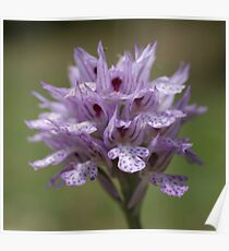 Three-toothed Orchid Poster