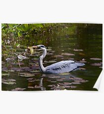 Grey heron feeding in Wales Poster