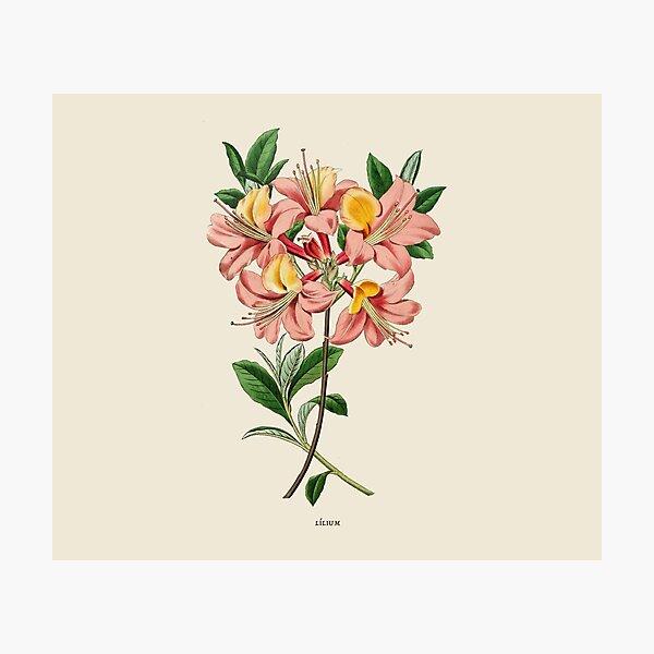 Lilium Botanical Antique Illustration Photographic Print