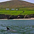 basking shark in blasketh Sound  Isles Eire. by Edward  manley
