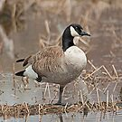 Circus Goose! by Mike Oxley