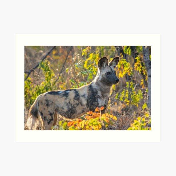 African Painted Dog #2, Hwange National Park, Zimbabwe Art Print