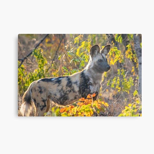 African Painted Dog #2, Hwange National Park, Zimbabwe Metal Print