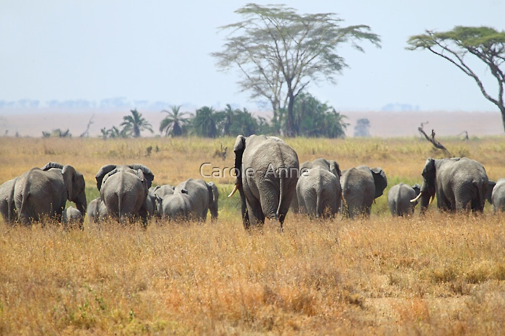 """Goodbye"" African Elephants, Serengeti, Tanzania.  by Carole-Anne"