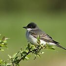 Eastern Kingbird by Gregg Williams