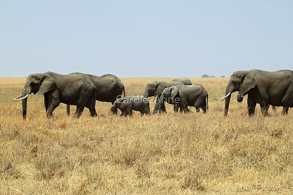 African Elephants, Serengeti, Tanzania  by Carole-Anne