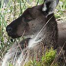 Western Grey Kangaroo Portrait - Mount Lofty Summit, South Australia by Dan Monceaux