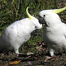 Sulphur Crested Cockatoos - Mount Lofty, South Australia by Dan & Emma Monceaux