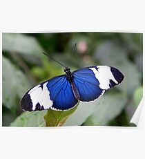 Open Wings Cydno Longwing - Heliconius cydno Poster