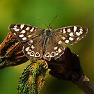 My best Speckled Wood? by jesika