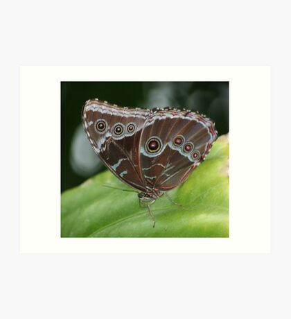Common Morpho Butterfly Art Print