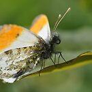 Male Orange Tip by Tony4562