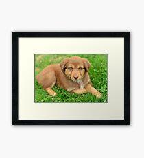 Red Tri Australian Shepherd Puppy - Aussie Framed Print