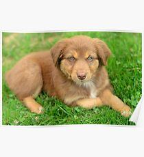 Red Tri Australian Shepherd Puppy - Aussie Poster