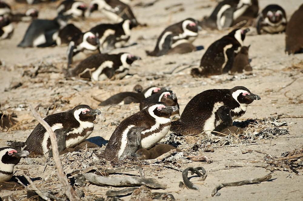 Boulders penguins by Andy-Kim Möller