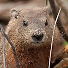 Woodhog or Groundchuck? by Mike Oxley