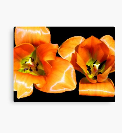 Tangerine Tulips © Canvas Print