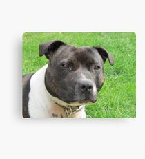 Headshot of a Staffordshire Bull Terrier Canvas Print