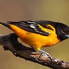 Baltimore Oriole by naturalnomad