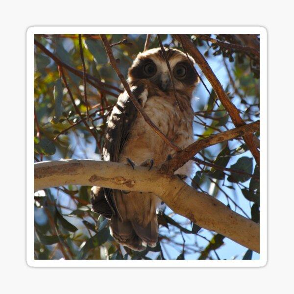 An Alert Looking Boobook Owl Sticker