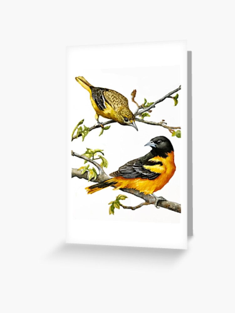 Male Female Orioles Maryland State Bird Greeting Card By Lindaappleart Redbubble