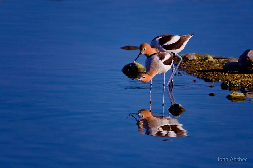 American Avocets - On The Hunt by John Absher