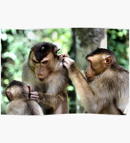Mutual Grooming. Short-tailed Macaques, Borneo  Poster