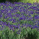 A field of Blue Iris by Karen Kaleta