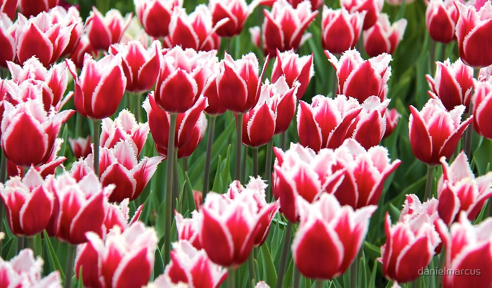 Tulips in the Park 2 by danielmarcus