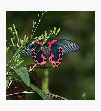 Mormon Butterfly Photographic Print